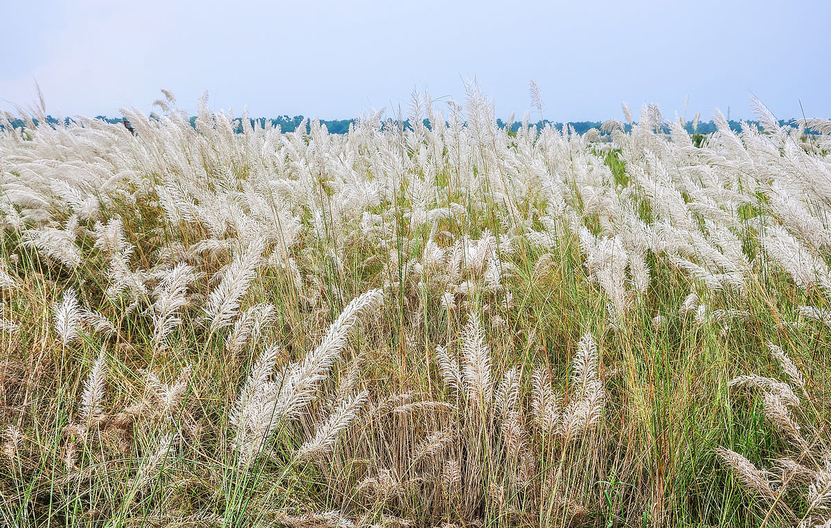 A field of tall grasses