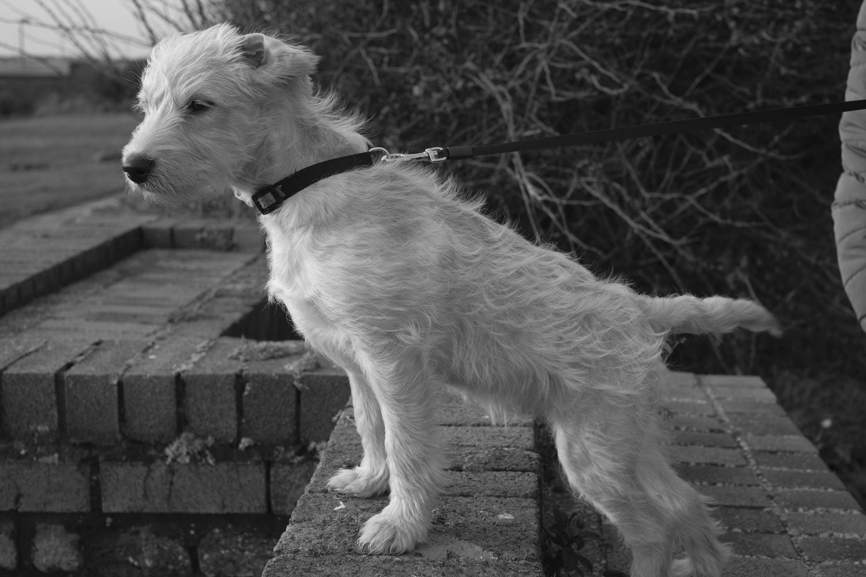 a labradoodle puppy